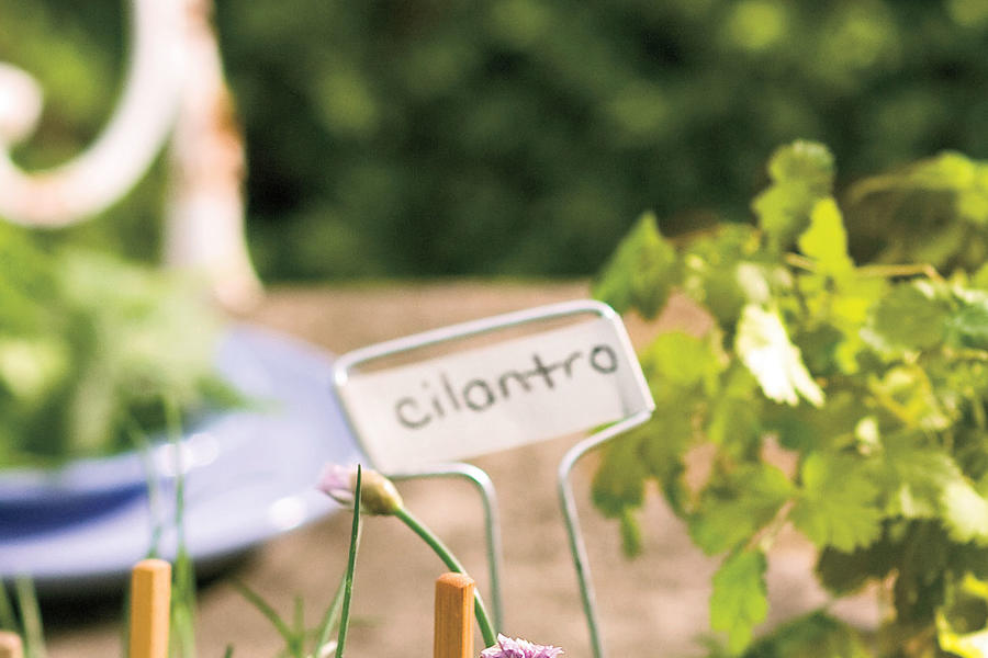 Plant These Herbs in Winter: Cilantro