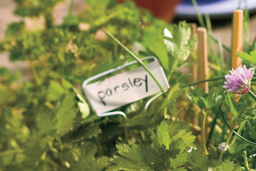 Plant These Herbs in Winter: Parsley