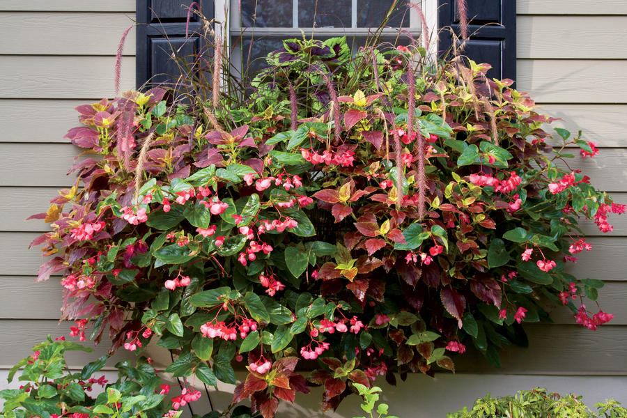 Coleus, Begonias & Purple Fountain Grass