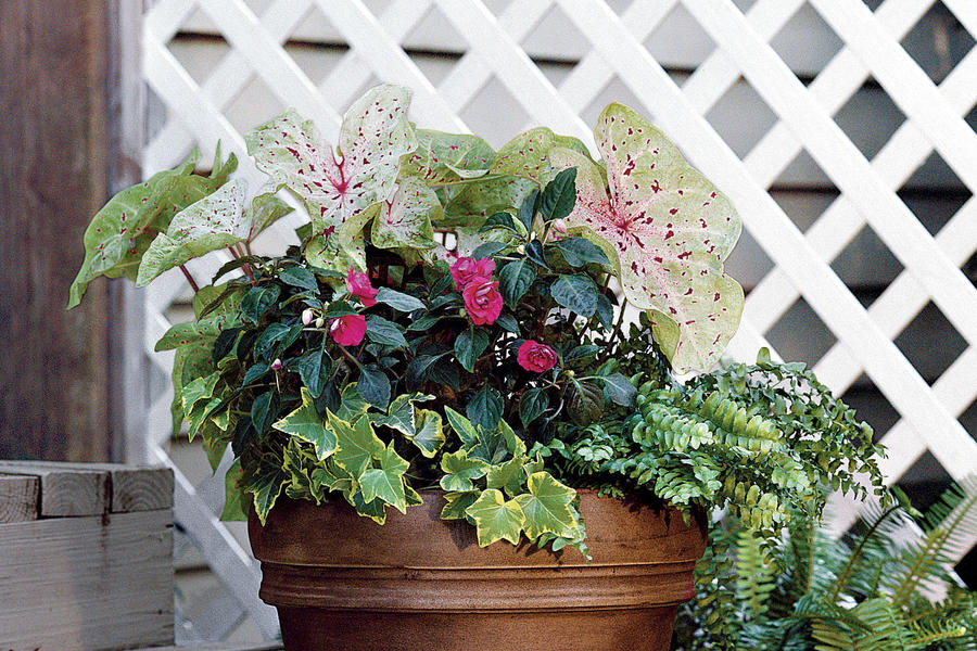 Ivy, Ferns, Impatiens & Caladiums