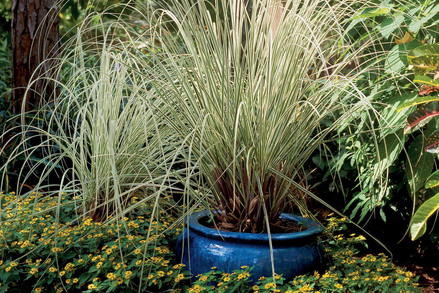 Variegated Silver Grass