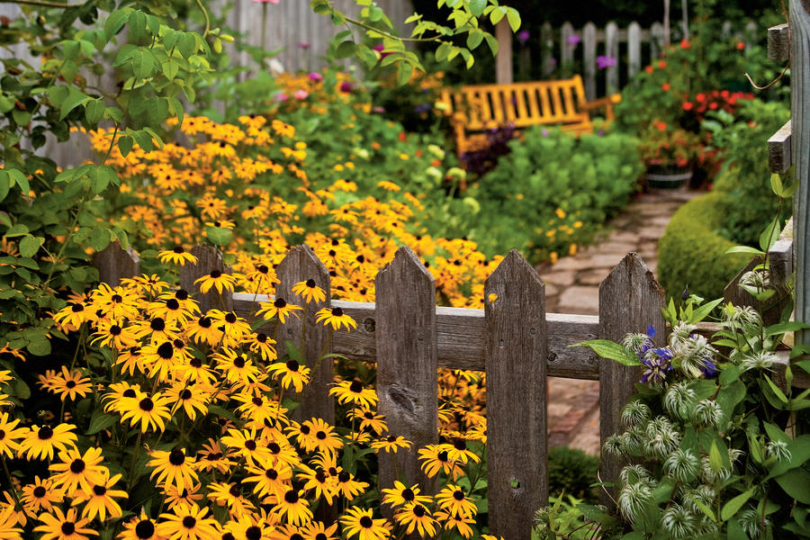 Easy Growing: Black-eyed Susans