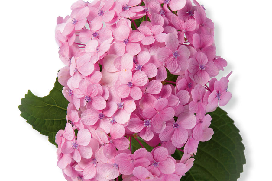 'Big Daddy' French Hydrangea