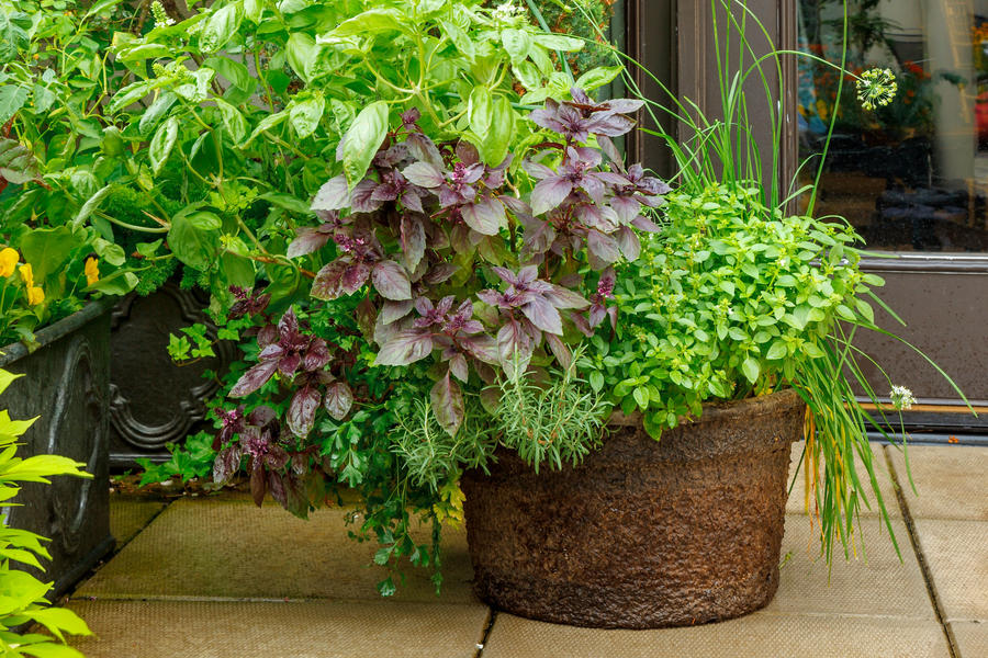 Basil and Garlic Chive Container Garden