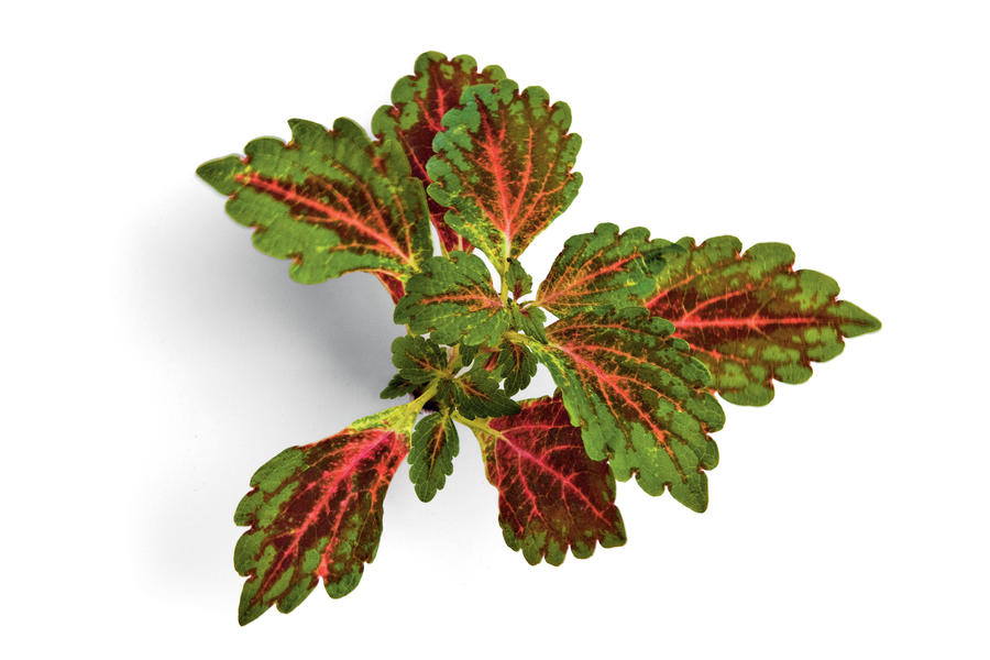 'Radical Wonder' Coleus Plant