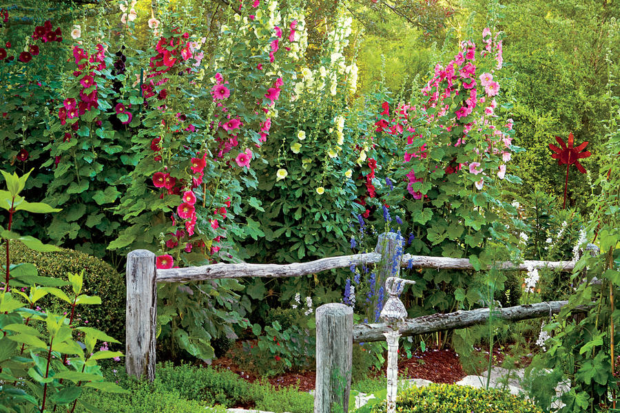 Hollyhocks Glenville, North Carolina