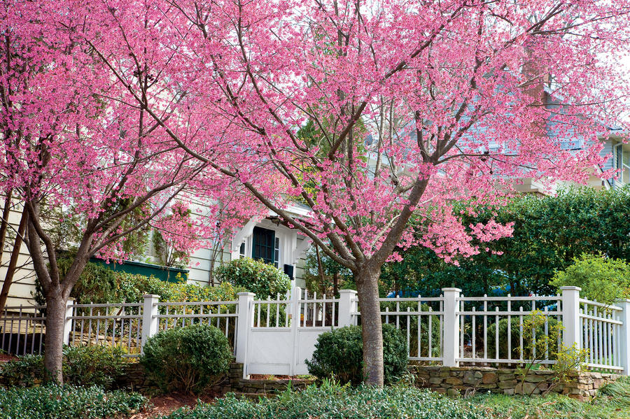 Okame Cherry Growing Blossoms Southern Living