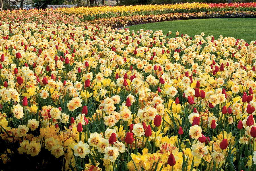 Yellow & Red Tulips