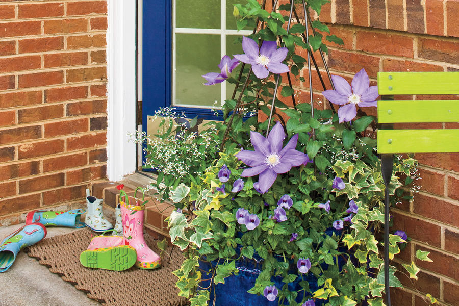 Flower Plants: Clematis Blooms on a Vine