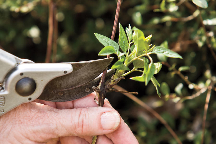 Flower Plants: Pruning: Group II Clematis
