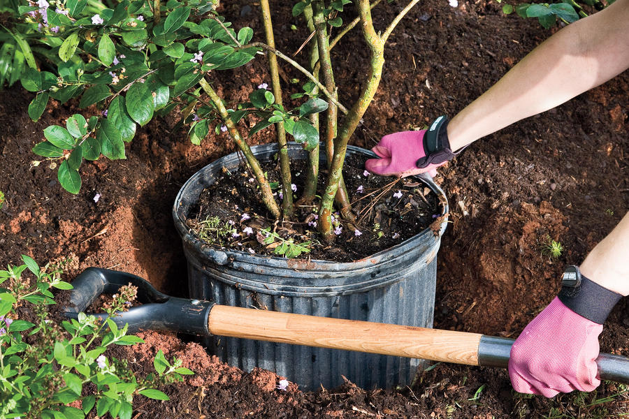 How to Plant a Crepe Myrtle with Success: Step 2