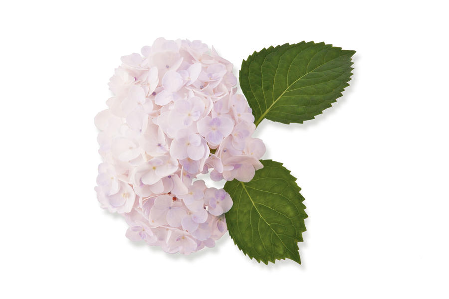 'Blushing Bride' French Hydrangea