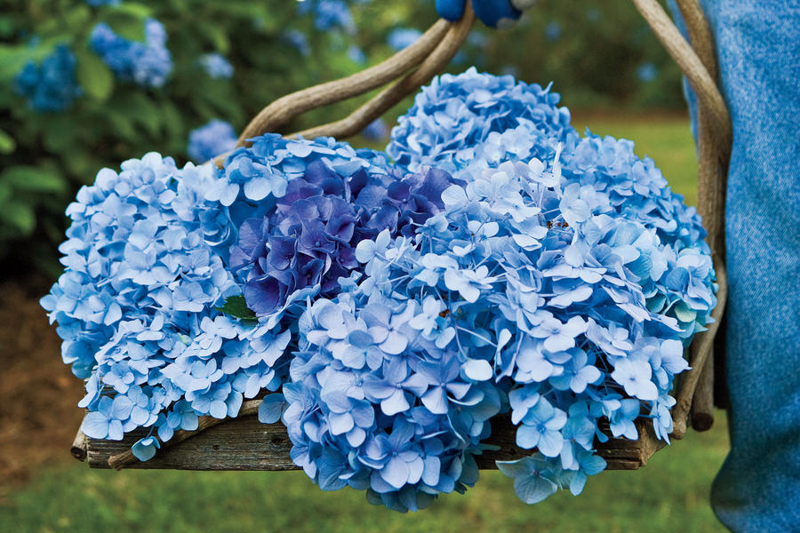 French Hydrangea: Blue or Pink Blooms?