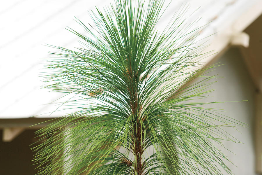 Drought-Tolerant Native Plants: Longleaf pine