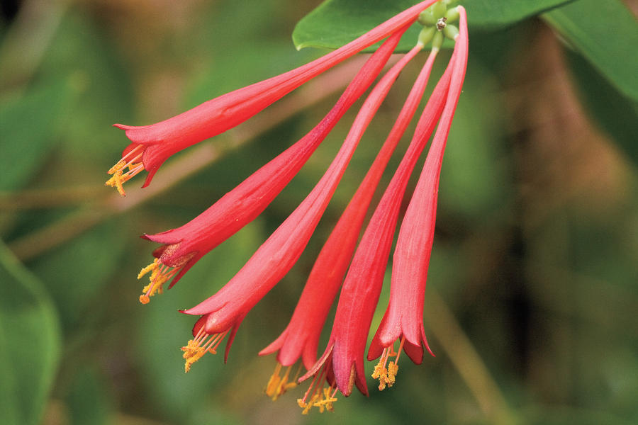 Drought-Tolerant Native Plants: Trumpet honeysuckle