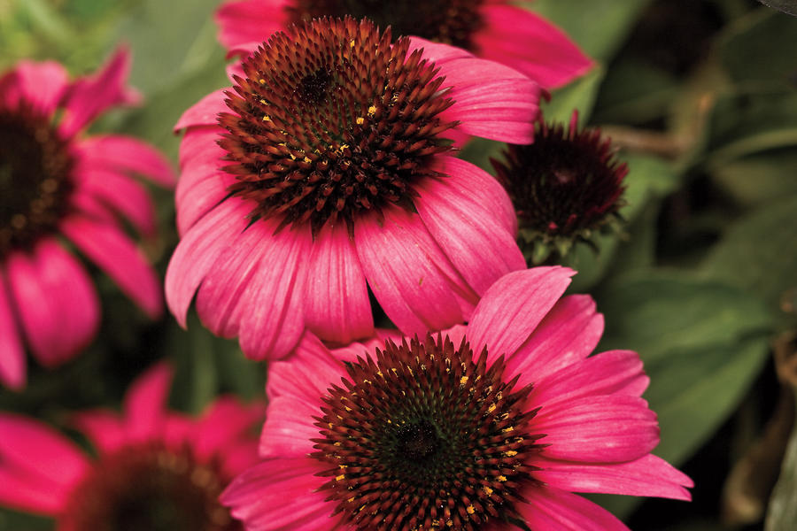 'After Midnight' Coneflower