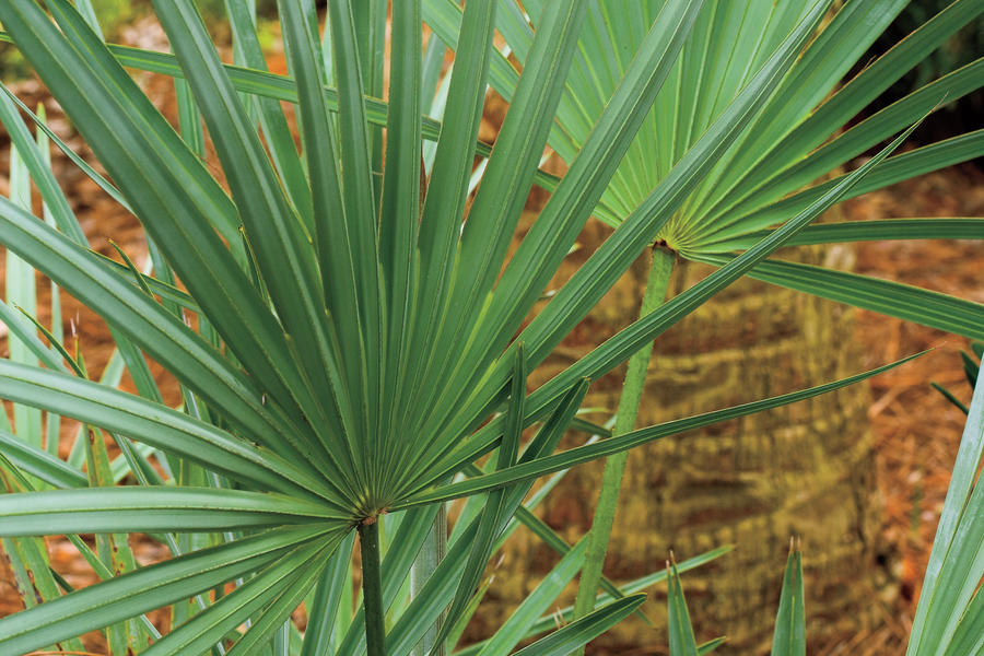Drought-Tolerant Native Plants: Silver saw palmetto