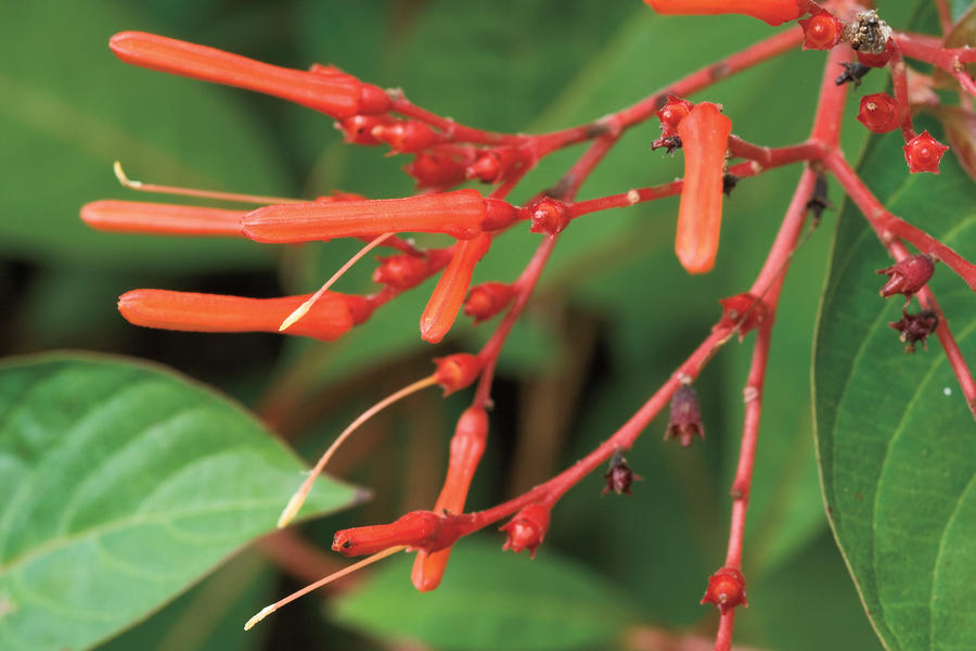 Drought-Tolerant Native Plants: Firebush