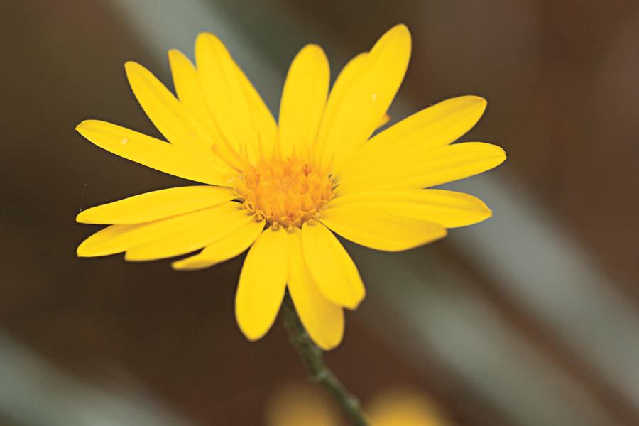 Drought-Tolerant Native Plants: Goldenaster