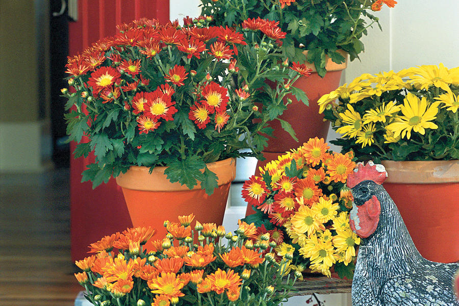 Mums on Front Porch