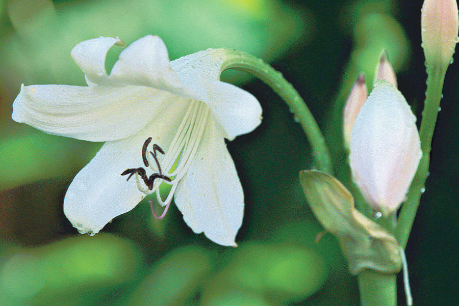 'Album' longneck crinum combines white, bell-shaped blooms with good cold-hardin