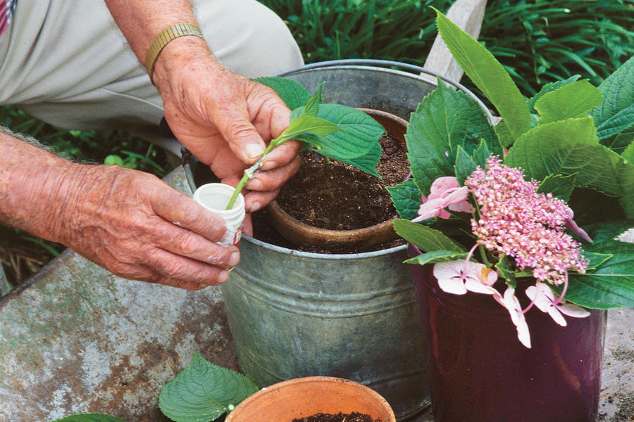 French Hydrangea: Root and Pass Along