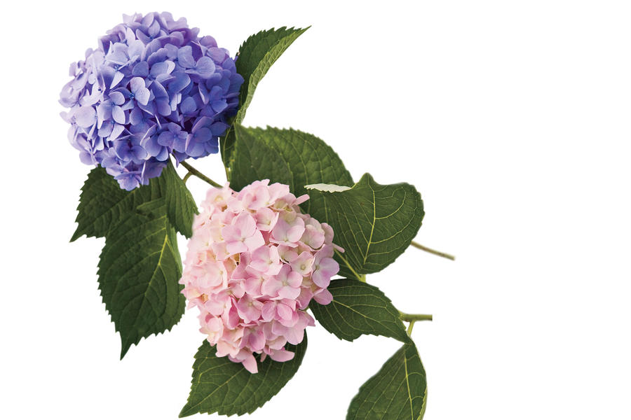 French Hydrangea: Repeat Blooming Hydrangeas