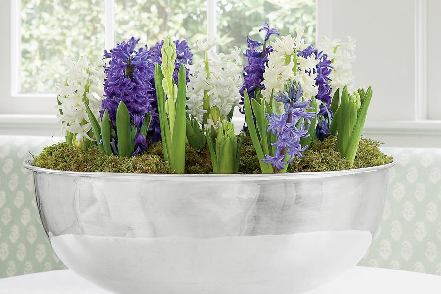 Hyacinths In Bloom