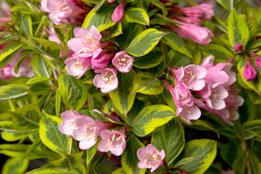 Rainbow Sensation Weigela