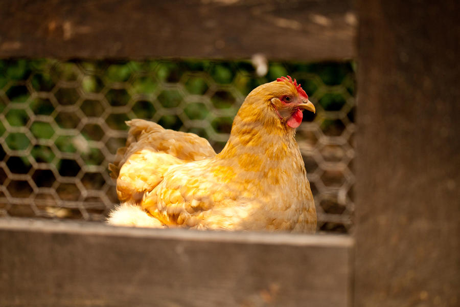 Slate Hill Farm. Puopolo farmhouse. Close-up of chicken walking in chicken coop.