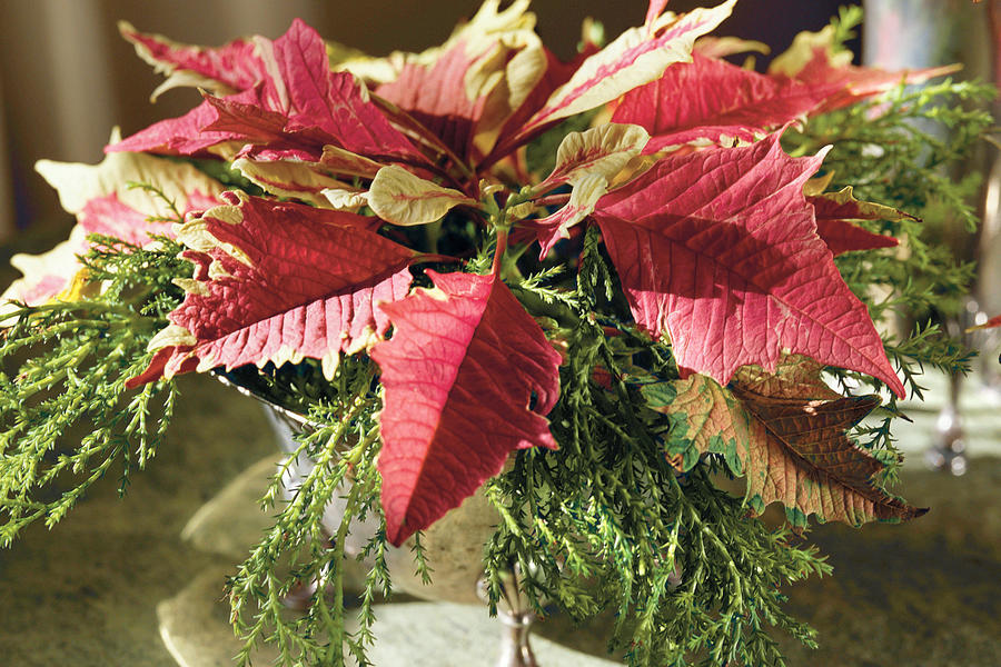 Evergreen and Poinsettias