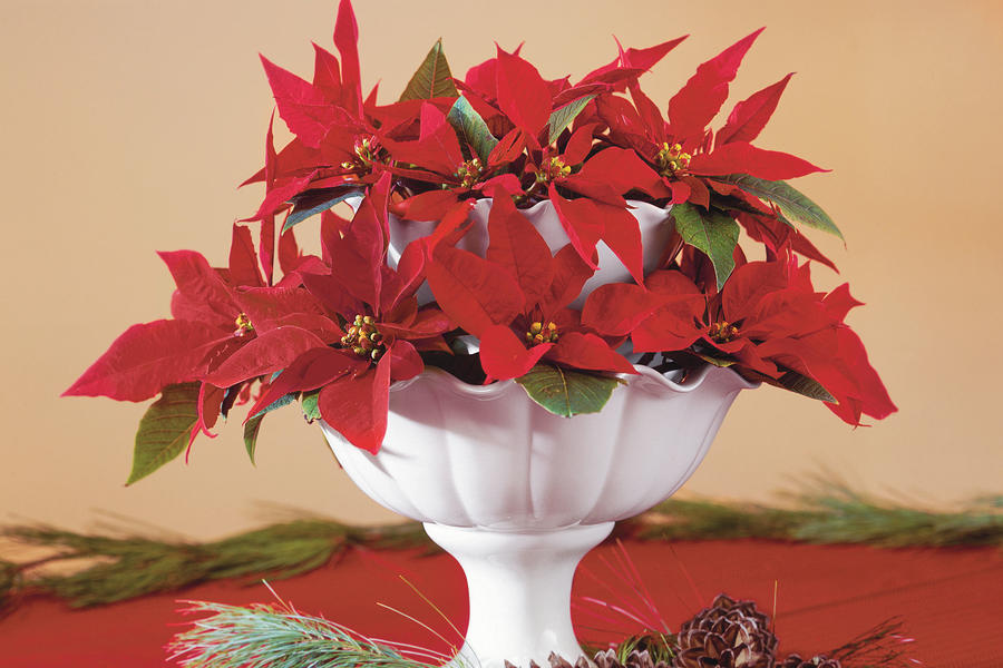 Stacked Poinsettias