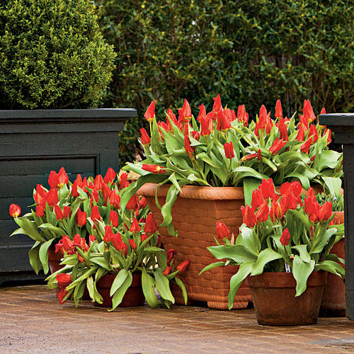 Planting Bulbs in Containers. Planting Bulbs in Containers   Southern Living