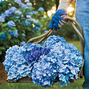 Change Your Hydrangea's Color