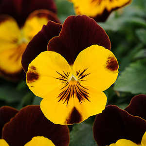 Cool Wave Pansy - Naming Contest