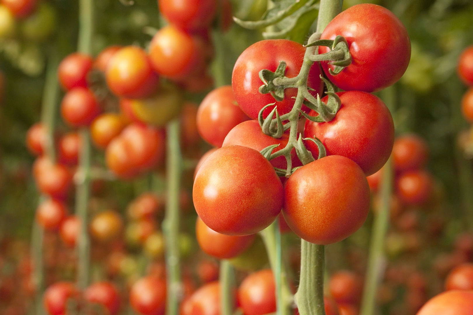 Science Explains Why Modern Tomatoes Suck