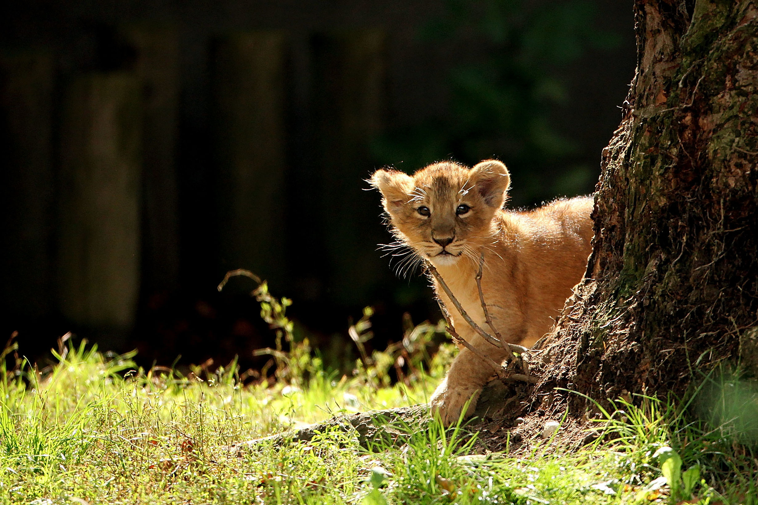 Watch This Adorable Zoo-Goer Get a Visit From the Lions
