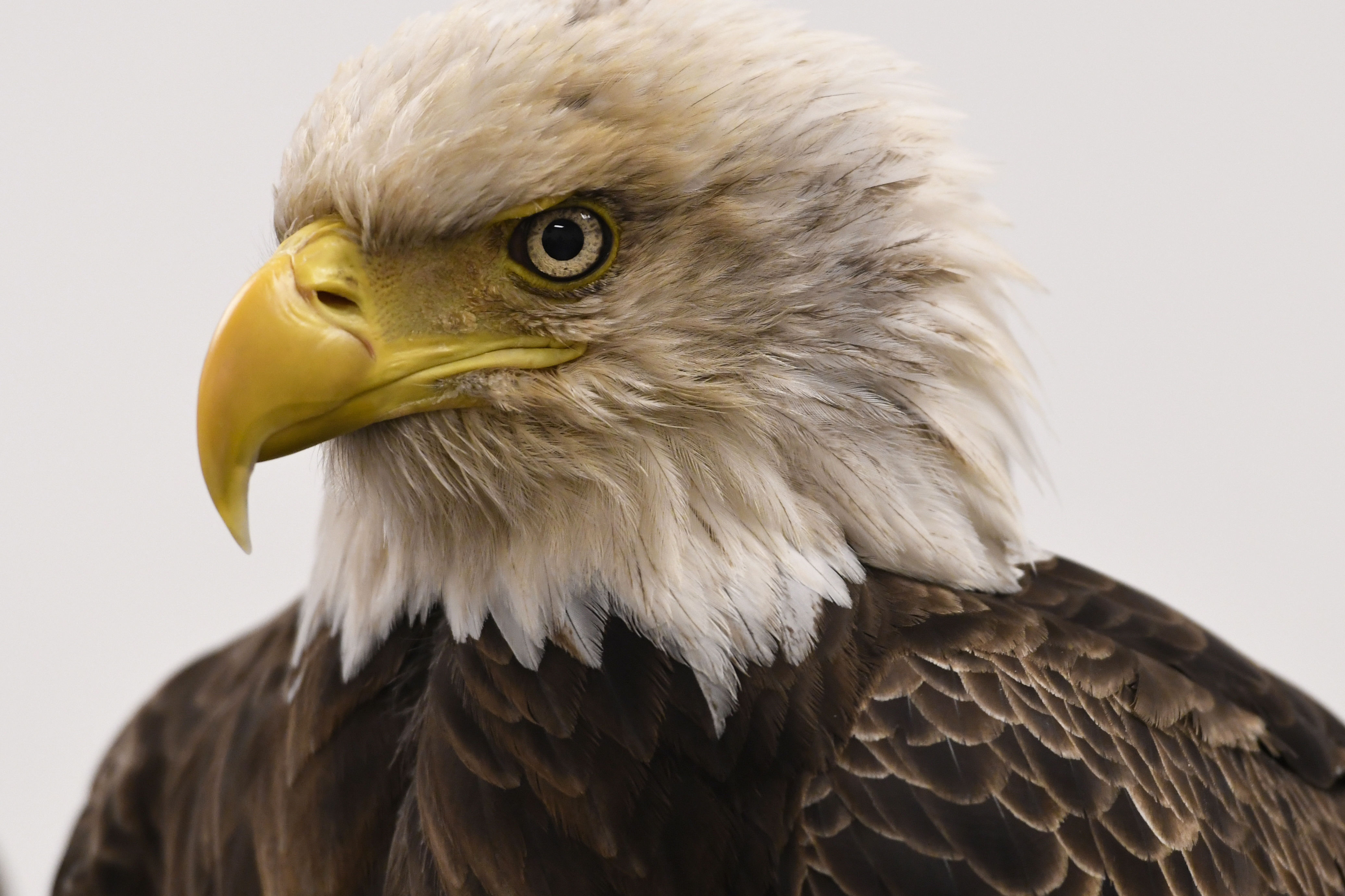 Dollywood's Coolest Attraction Could Very Well Be Its Bald Eagle Sanctuary