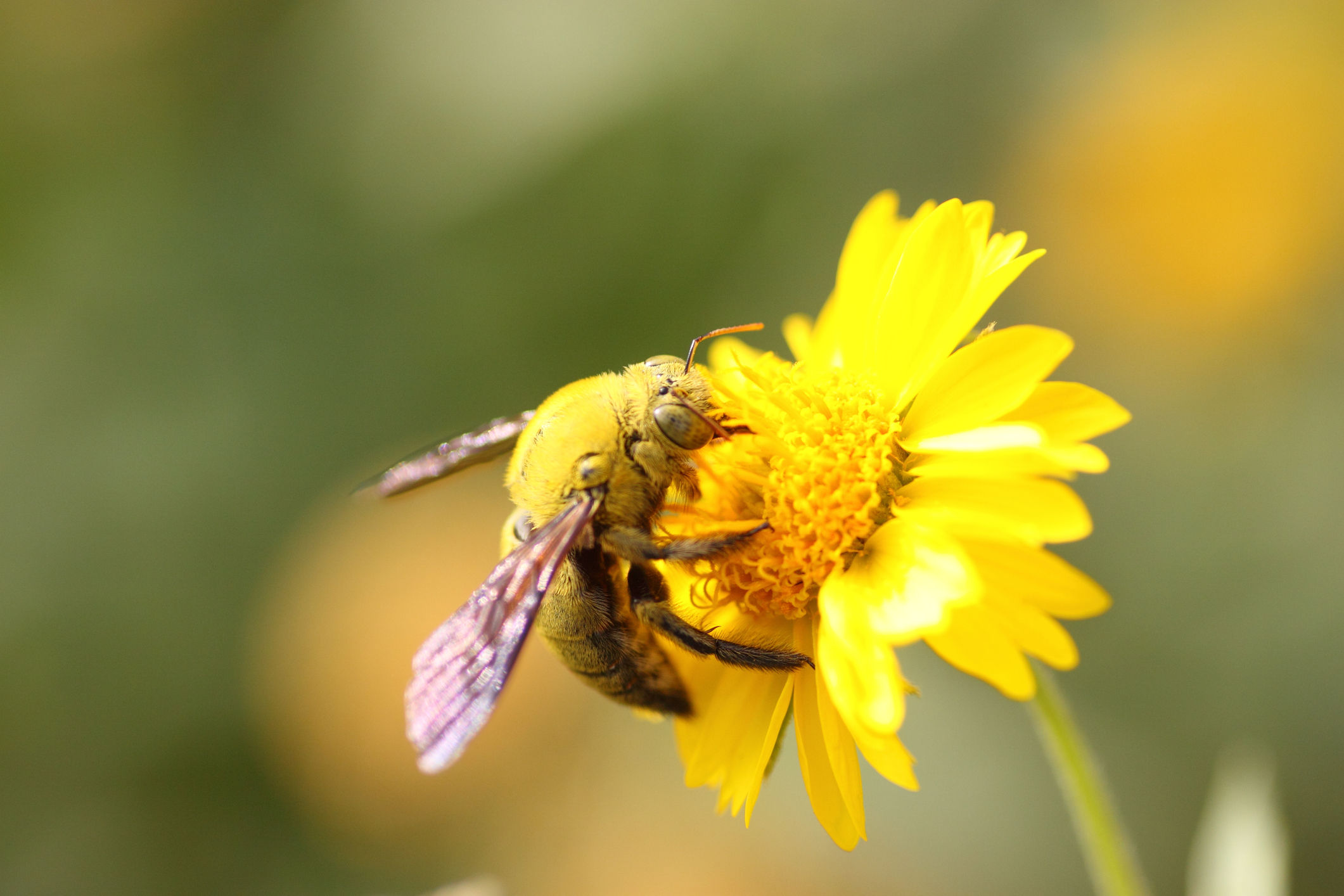 Why Carpenter Bees Have Gotten So Much Worse