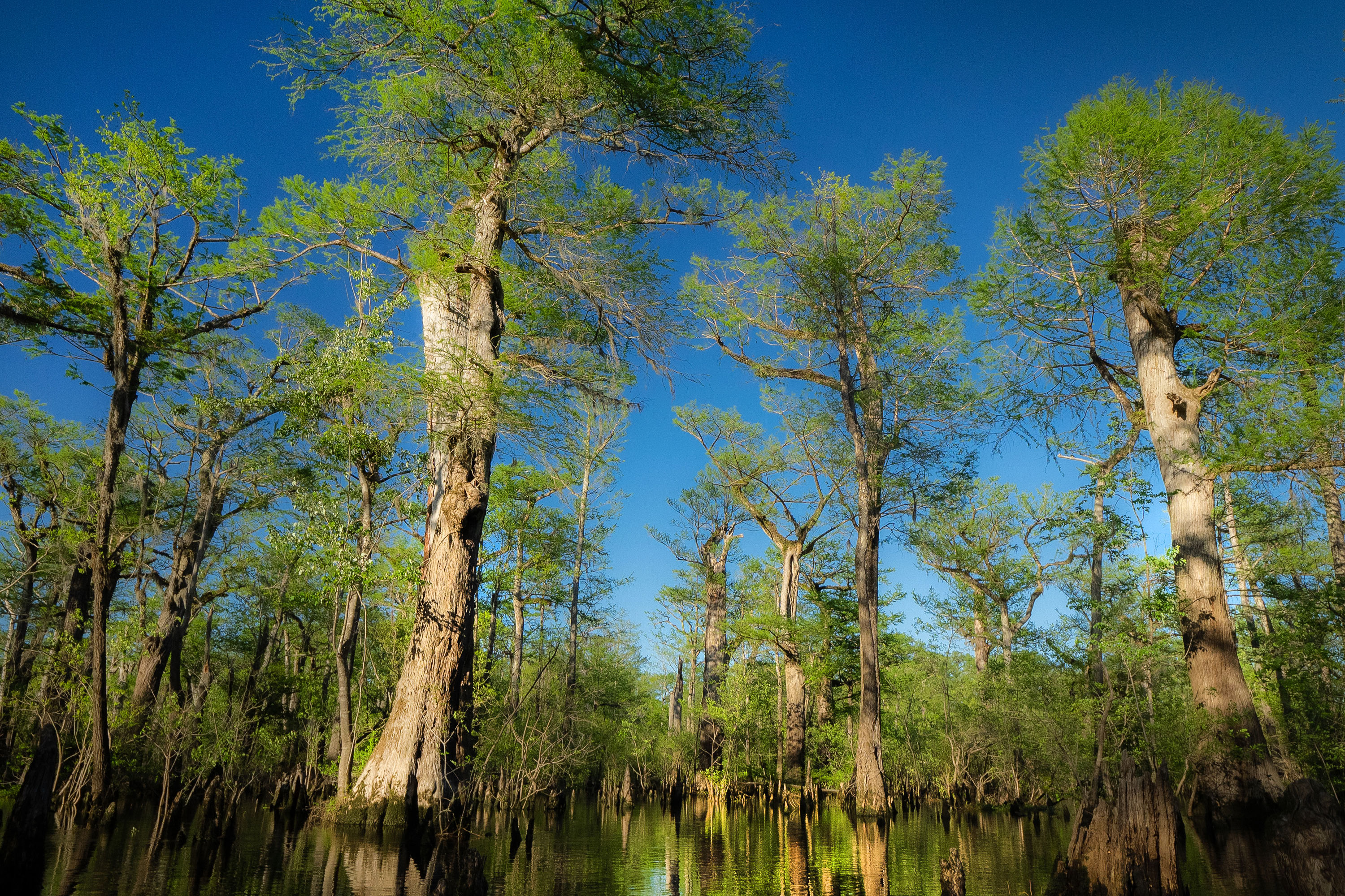 Scientists Discover Tree Older Than Christianity in North Carolina Swamp