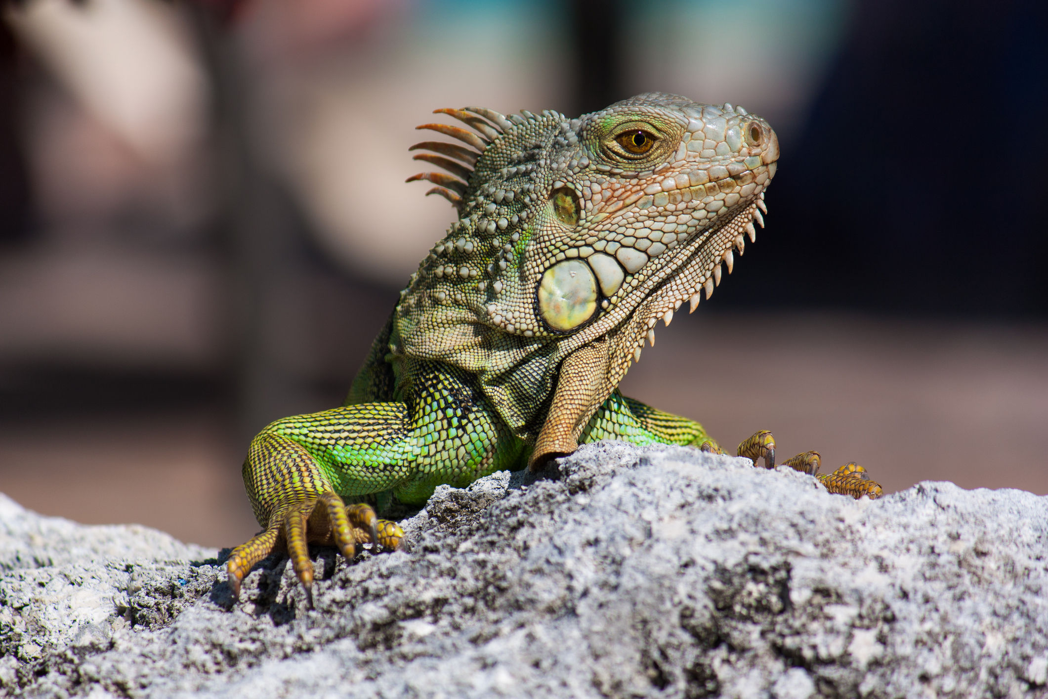 Yikes! Florida Is Being Overrun With Iguanas