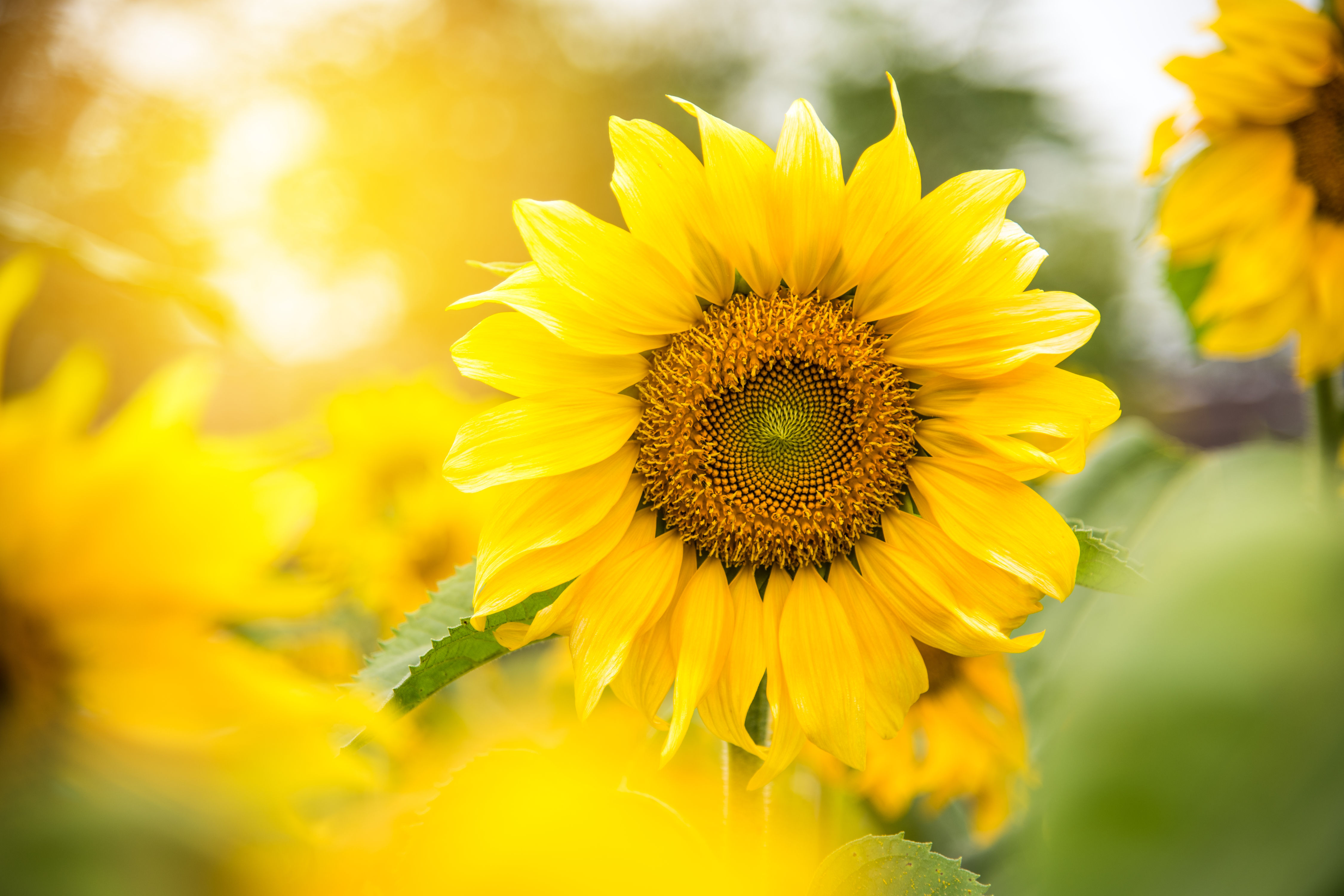Marvel at 70 Acres of Sunflowers in Knoxville, Tennessee, This Weekend
