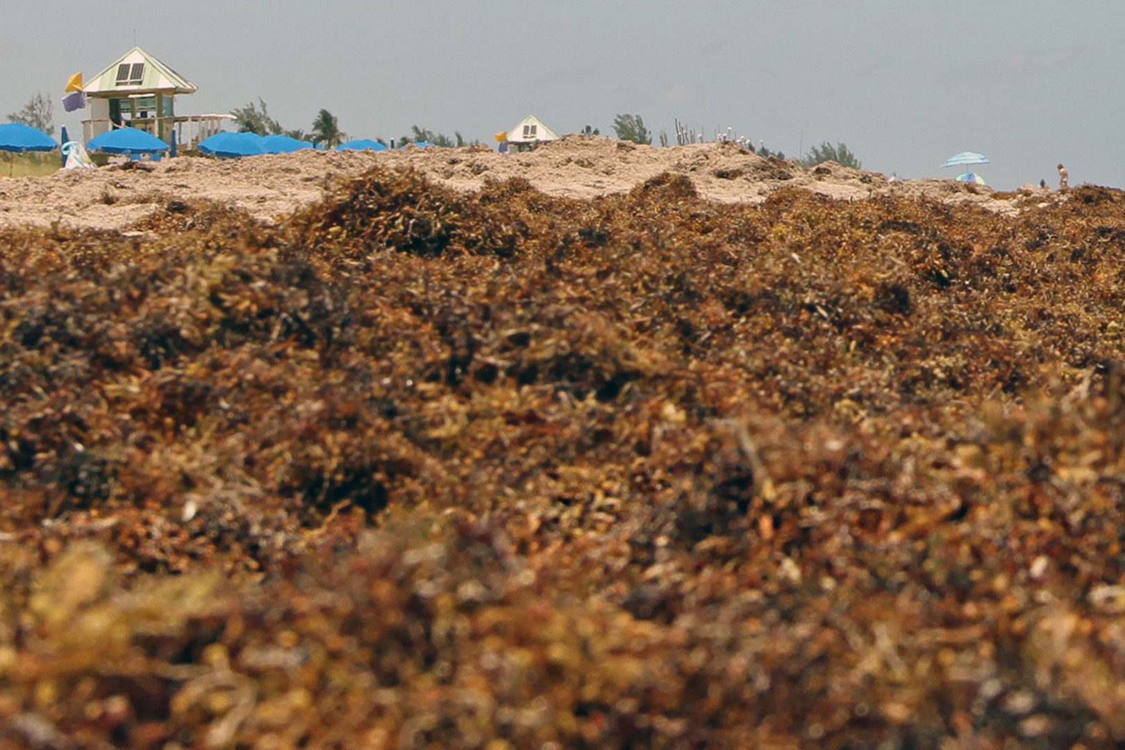 Seaweed Could Be Worse Than Ever This Year Thanks to Growing 5,500-Mile Patch of Sargassum