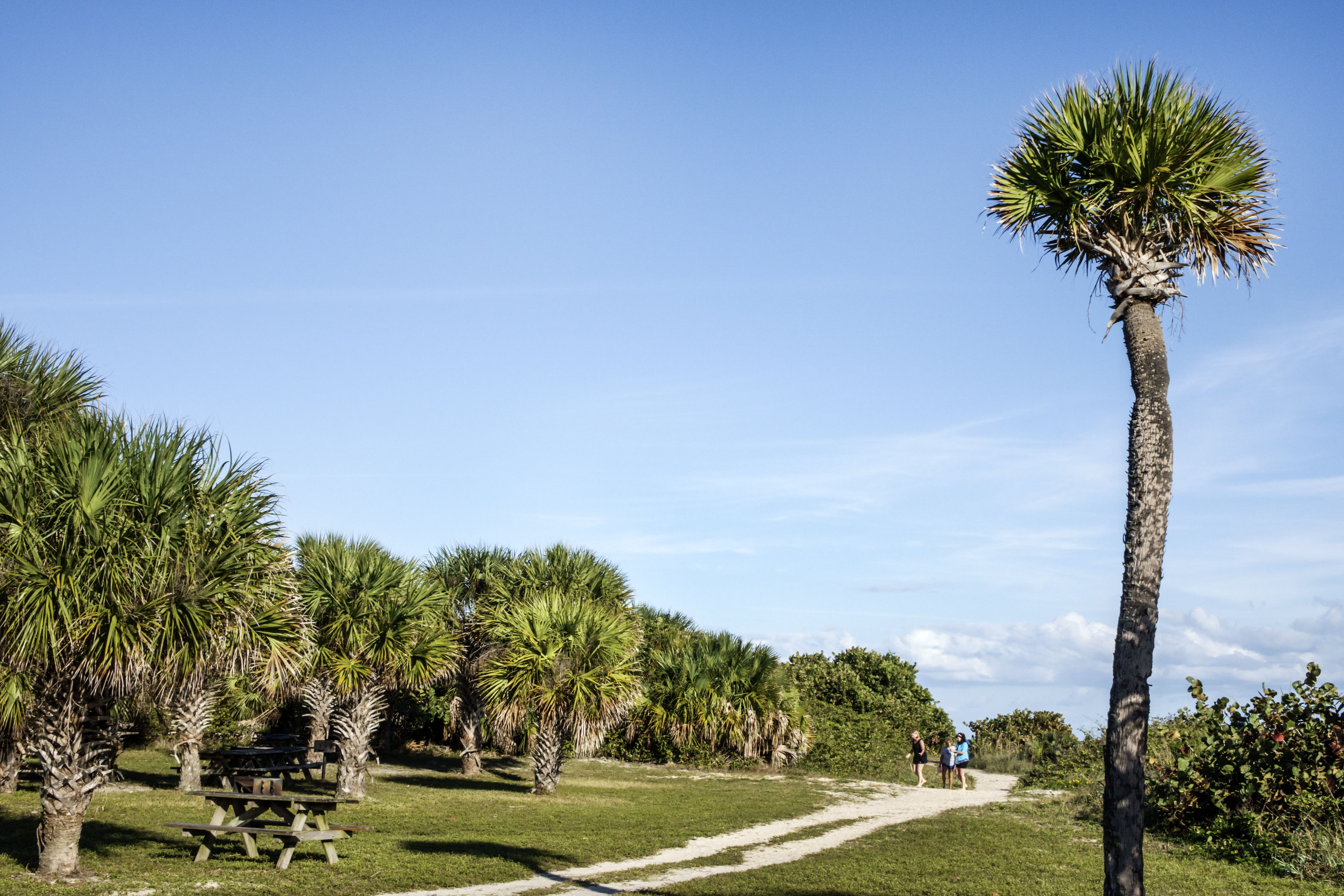 Florida's Beautiful Palm Trees Are Under Attack by a Fatal, Insect-Borne Disease