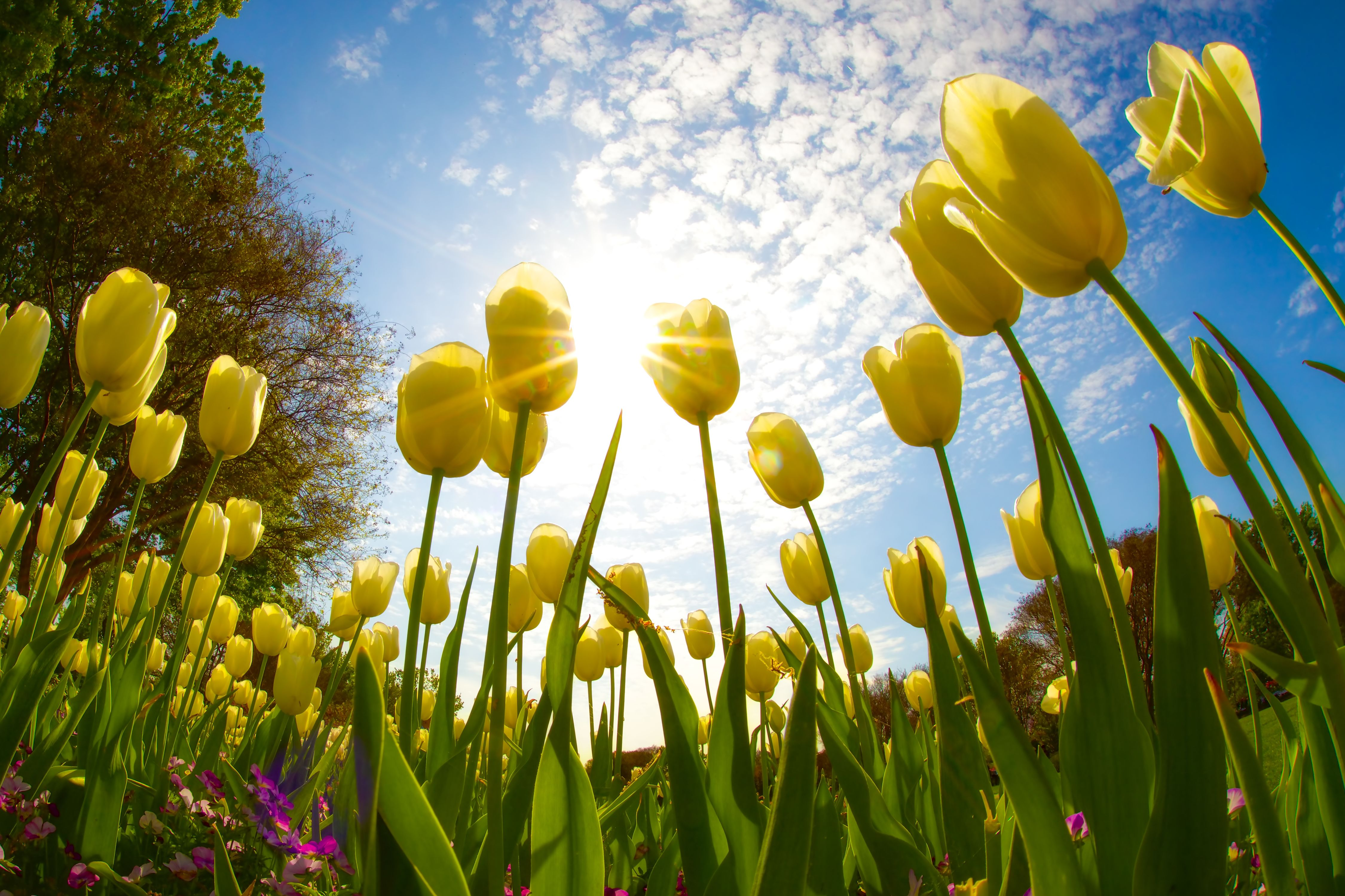 A Sprawling Tulip Field Is Coming to the San Antonio Area Next Spring