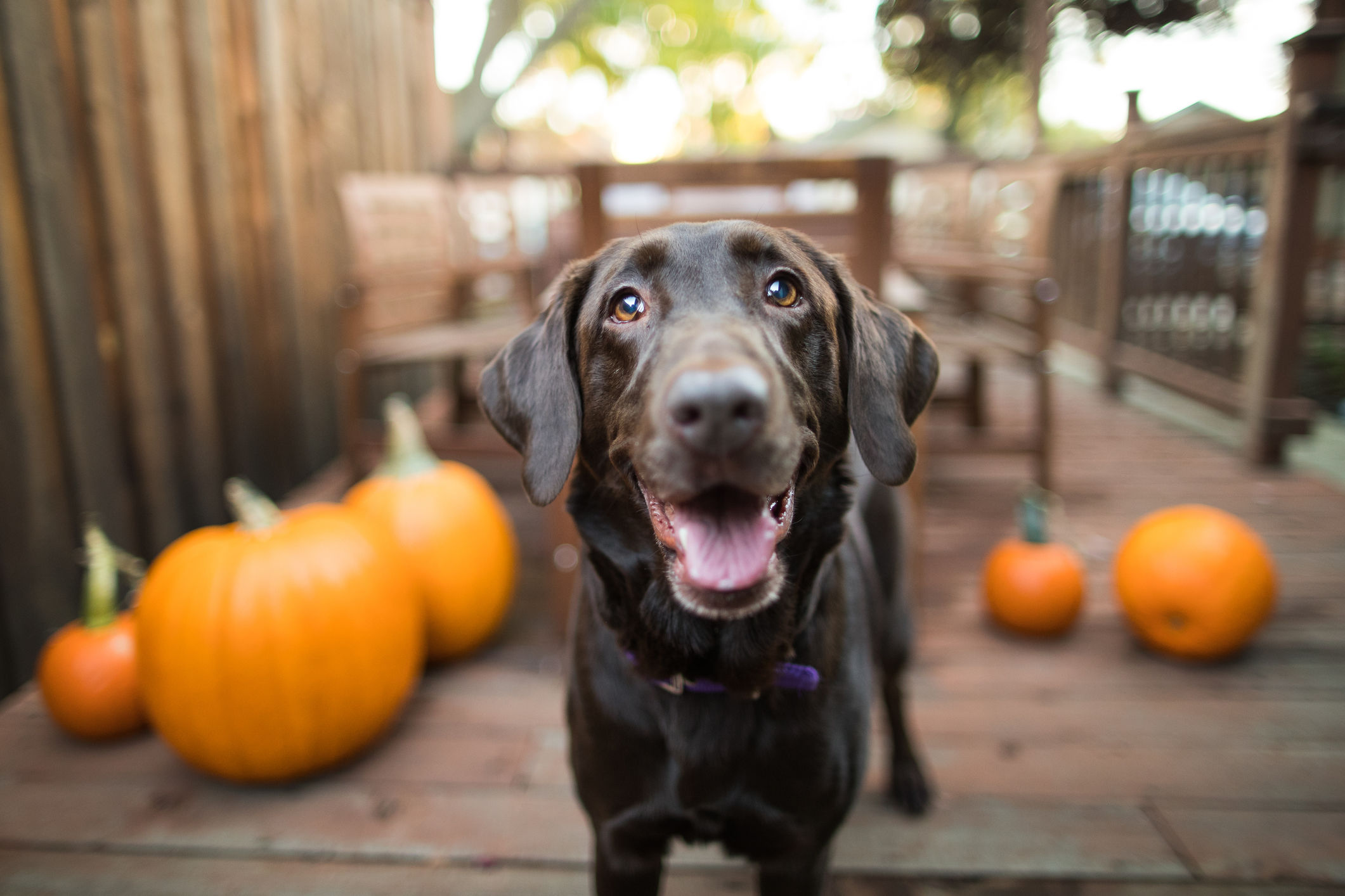 Can Dogs Eat Pumpkin Pie?