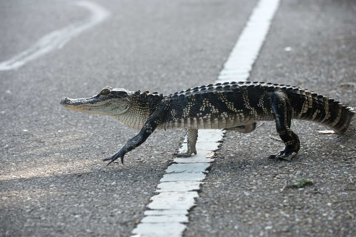 A Spirit Airlines Plane Had to Wait for an Alligator to Cross the Runway