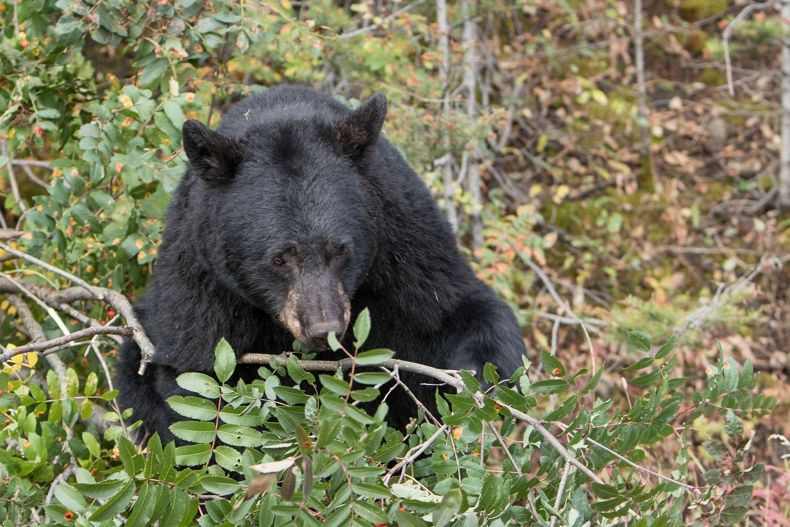Virginia Bear Locks Himself in SUV, Honks to Alert Owner