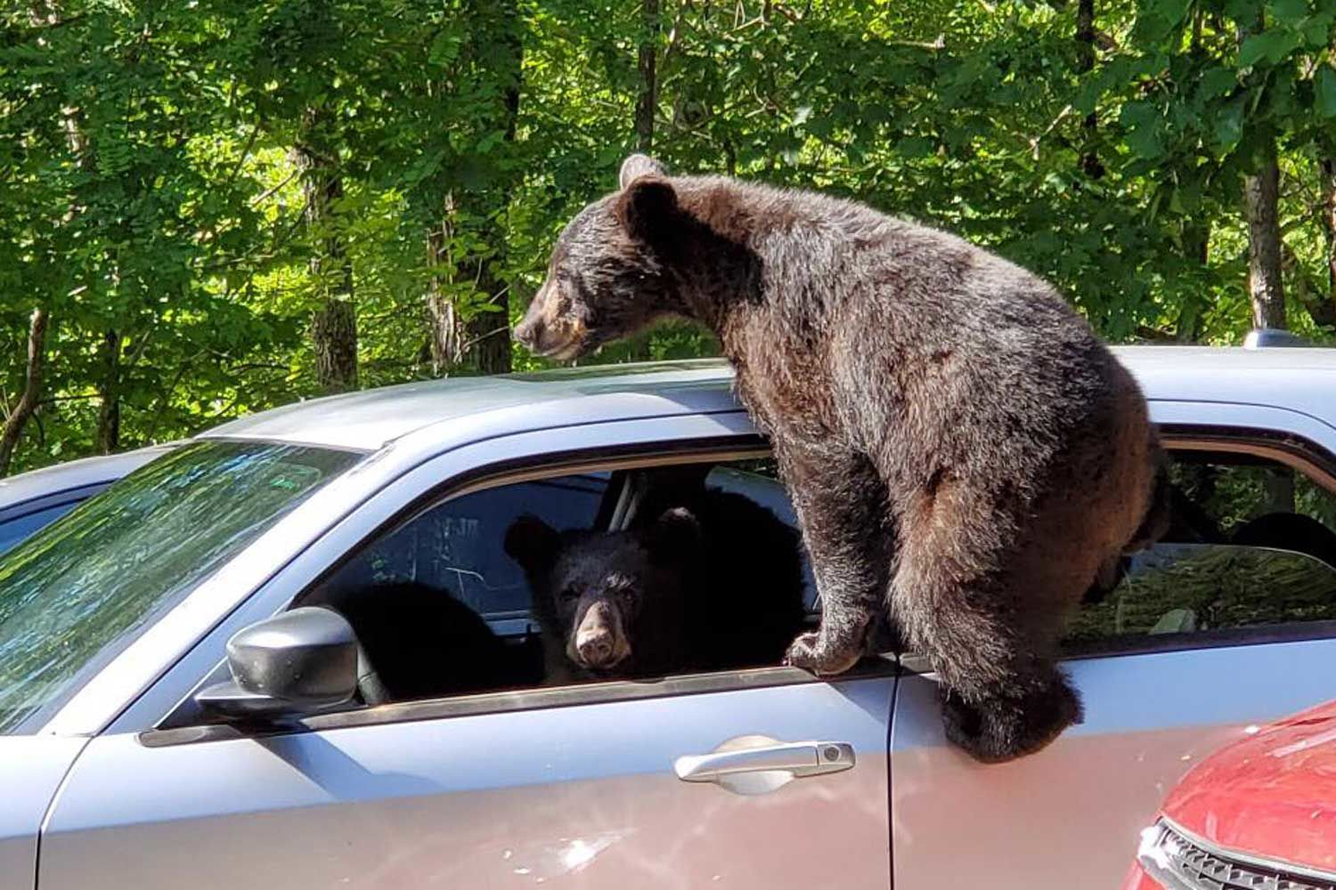 Man Finds Three Bears Casually Climbing Into His Car in Tennessee