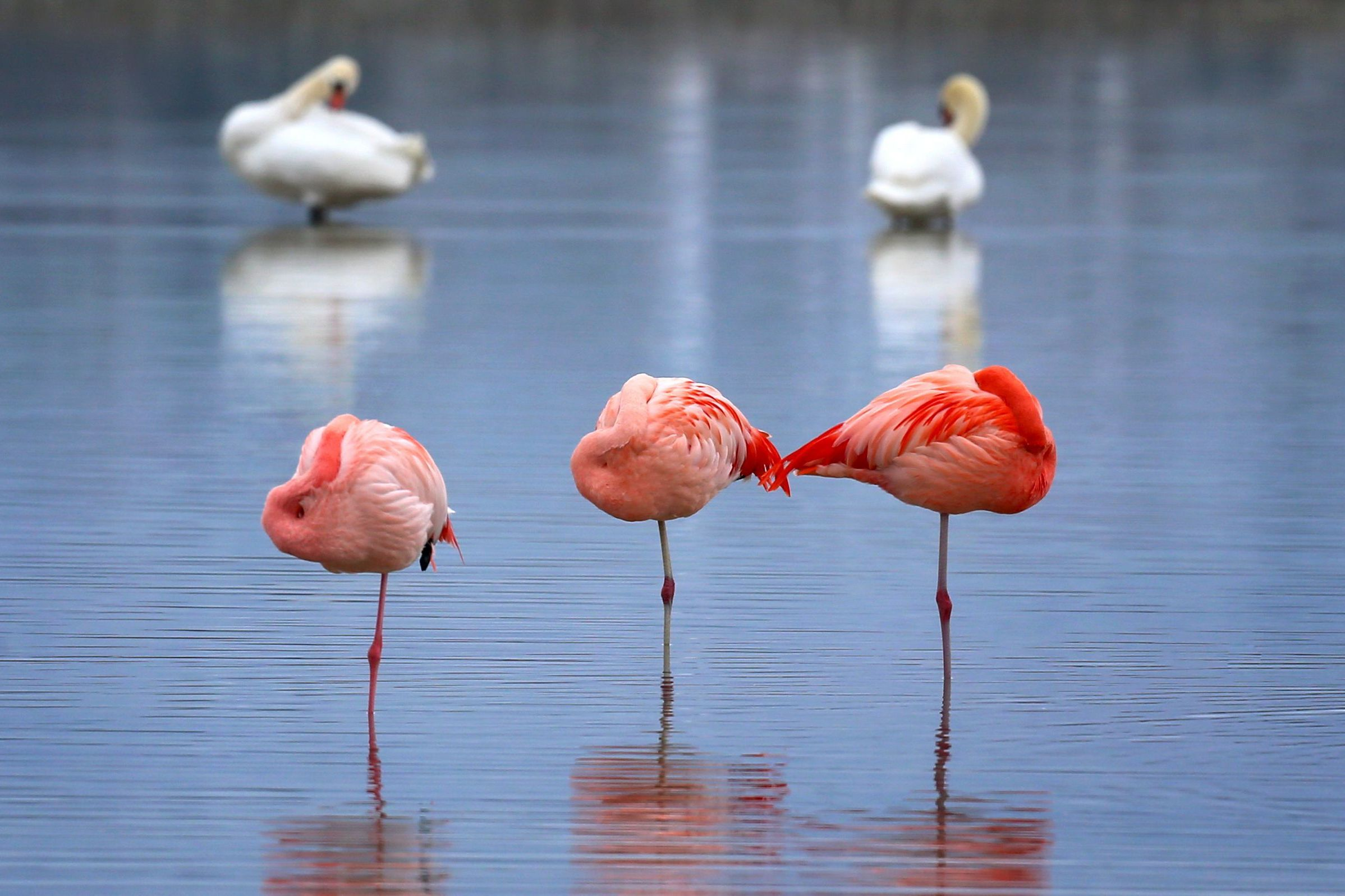 Science Finally Discovered Why Flamingos Stand on 1 Leg